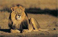 Kalahari Lion (Panthera leo) Stock Photo - Premium Royalty-Freenull, Code: 6106-06994799