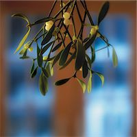 Bunch of Mistletoe Stock Photo - Premium Royalty-Freenull, Code: 6106-06999888