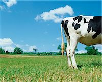 female rear end - Rear View of a Cow Standing in a Field Stock Photo - Premium Royalty-Freenull, Code: 6106-07002706
