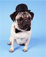 pvg - Pug Dog Wearing a Bowler Hat Stock Photo - Premium Royalty-Freenull, Code: 6106-07002709