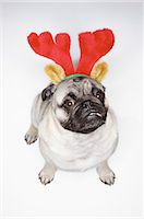 pvg - Elevated View of a Pug Dog Wearing a Festive Deely Bopper Stock Photo - Premium Royalty-Freenull, Code: 6106-07006587