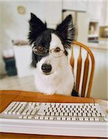 represented - Border Collie Wearing Glasses Sitting at a table with a Keyboard Stock Photo - Premium Royalty-Freenull, Code: 6106-07010595