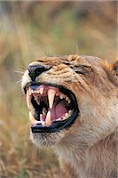 roar lion head picture - Lion (Panthera leo) Stock Photo - Premium Royalty-Freenull, Code: 6106-07012407