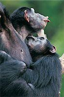 Kissing Chimpanzees (Pan troglodytes) Stock Photo - Premium Royalty-Freenull, Code: 6106-07013237