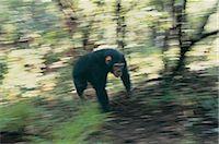 Chimpanzee (Pan troglodytes) Stock Photo - Premium Royalty-Freenull, Code: 6106-07013871