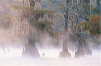 fog (weather) - Cypress Trees, Caddo Lake near Marshall, Texas, USA Stock Photo - Premium Royalty-Freenull, Code: 6106-07014038