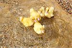 Five ducklings in water, elevated view
