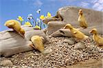 One duckling with head stuck in log, four other ducklings laughing (digital composite)
