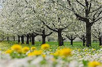 scenic and spring (season) - Row of cherry trees in blossom at a cherry tree plantation, with flowers in foreground Stock Photo - Premium Royalty-Freenull, Code: 6106-07024070