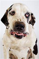 Harlequin Great Dane growling, studio shot Stock Photo - Premium Royalty-Freenull, Code: 6106-07024546