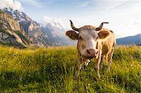 farming (raising livestock) - Cow wearing Bell in front of Eiger Mountain, Bernese Alps, Grindelwald, Canton of Bern, Switzerland Stock Photo - Premium Royalty-Freenull, Code: 600-07026605
