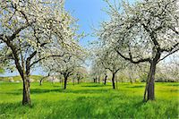 scenic and spring (season) - Blooming Apple Trees Stock Photo - Premium Royalty-Freenull, Code: 6106-07029379