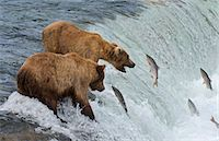 Two Brown Bears catching salmon at Brook Falls Stock Photo - Premium Royalty-Freenull, Code: 6106-07029436