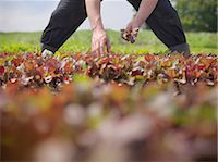 Worker picking salad crop Stock Photo - Premium Royalty-Freenull, Code: 649-07064603