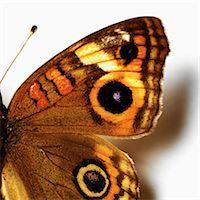 Eye-like markings on butterfly Stock Photo - Premium Royalty-Freenull, Code: 649-07065290