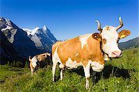 Alpine cows in front of Mount Eiger, Bernese Alps, Switzerland Stock Photo - Premium Royalty-Freenull, Code: 600-07066988