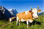 Alpine cows in front of Mount Eiger, Bernese Alps, Switzerland Stock Photo - Premium Royalty-Free, Artist: F. Lukasseck, Code: 600-07066988