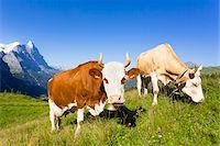 Alpine cows in front of Mount Eiger, Bernese Alps, Switzerland Stock Photo - Premium Royalty-Freenull, Code: 600-07066989