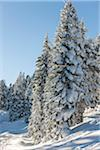 Snow Covered trees on Mount Ashland, Ashland, Southern Oregon, USA Stock Photo - Premium Rights-Managed, Artist: Matt Brasier, Code: 700-07067235