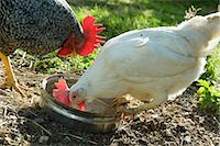 A hen pecking food out of a dish Stock Photo - Premium Royalty-Freenull, Code: 659-07069515