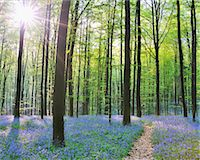 Path through Bluebells Forest Stock Photo - Premium Royalty-Freenull, Code: 618-07073047