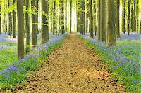Path through Bluebells Forest Stock Photo - Premium Royalty-Freenull, Code: 618-07073056