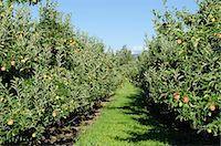 Apple orchard, Kelowna, British Columbia, Canada, North America Stock Photo - Premium Rights-Managednull, Code: 841-07082777