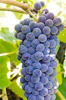 food - Grape vines in Kelowna, British Columbia, Canada, North America Stock Photo - Premium Rights-Managednull, Code: 841-07082781