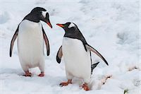 Gentoo penguins (Pygoscelis papua), Mikkelson Island, Antarctica, Polar Regions Stock Photo - Premium Rights-Managednull, Code: 841-07083583