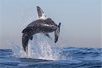 Great white shark (Carcharodon carcharias), Seal Island, False Bay, Simonstown, Western Cape, South Africa, Africa Stock Photo - Premium Rights-Managednull, Code: 841-07084373