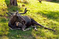 The moose (North America) or Eurasian elk (Europe) Stock Photo - Royalty-Freenull, Code: 400-07087737