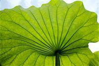 Lotus leaf Stock Photo - Premium Royalty-Freenull, Code: 622-07108682