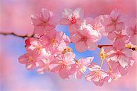 stamen - Cherry blossoms Stock Photo - Premium Royalty-Freenull, Code: 622-07108869