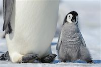 Close-up of Emperor Penguin (Aptenodytes forsteri) Chick next to Adult, Snow Hill Island, Antarctic Peninsula, Antarctica Stock Photo - Premium Rights-Managednull, Code: 700-07110776