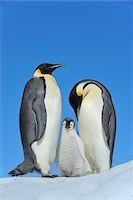 Adult Emperor Penguins (Aptenodytes forsteri) with Chick, Snow Hill Island, Antarctic Peninsula, Antarctica Stock Photo - Premium Rights-Managednull, Code: 700-07110792