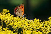 Lycaenidae butterfly Stock Photo - Premium Royalty-Freenull, Code: 622-07117699