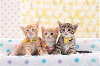 Munchkin pets Stock Photo - Premium Royalty-Freenull, Code: 622-07117847