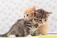 Munchkin pets Stock Photo - Premium Royalty-Freenull, Code: 622-07117862