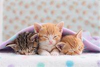 Munchkin pets Stock Photo - Premium Royalty-Freenull, Code: 622-07117866