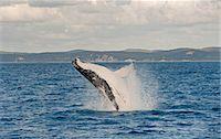 queensland - Humpback whale breaching, Hervey Bay, Queensland, Australia Stock Photo - Premium Royalty-Freenull, Code: 649-07118745