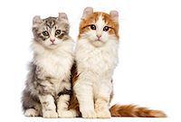 Two American Curl kittens sitting Stock Photo - Premium Royalty-Freenull, Code: 6106-07120459