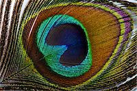 feather  close-up - Close up of a peacock's feather Stock Photo - Premium Royalty-Freenull, Code: 6106-07120844