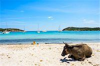Wild cow lying on beach, Rondinara Beach, (between Bonifacio and Porto-Vecchio) Corsica, France Stock Photo - Premium Rights-Managednull, Code: 700-07148231