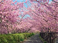 Kawazu Cherry Blossoms, Shizuoka, Japan Stock Photo - Premium Rights-Managednull, Code: 859-07149631