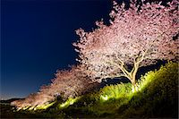 Cherry Blossoms Of Minami, Shizuoka, Japan Stock Photo - Premium Rights-Managednull, Code: 859-07150205