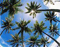 palm - Oahu Island, Hawaii Stock Photo - Premium Rights-Managednull, Code: 859-07150271