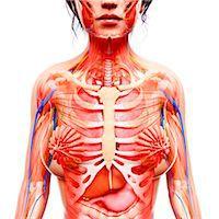 Female anatomy, computer artwork. Stock Photo - Premium Royalty-Freenull, Code: 679-07152118