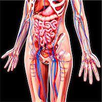 Female anatomy, computer artwork. Stock Photo - Premium Royalty-Freenull, Code: 679-07152313