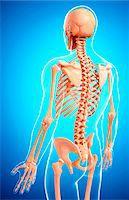 spinal column - Human skeleton, computer artwork. Stock Photo - Premium Royalty-Freenull, Code: 679-07154424