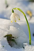spring flowers - Close-up of Blooming Snowdrops with Snow in Spring, Spessart, Bavaria, Germany Stock Photo - Premium Royalty-Freenull, Code: 600-07156470